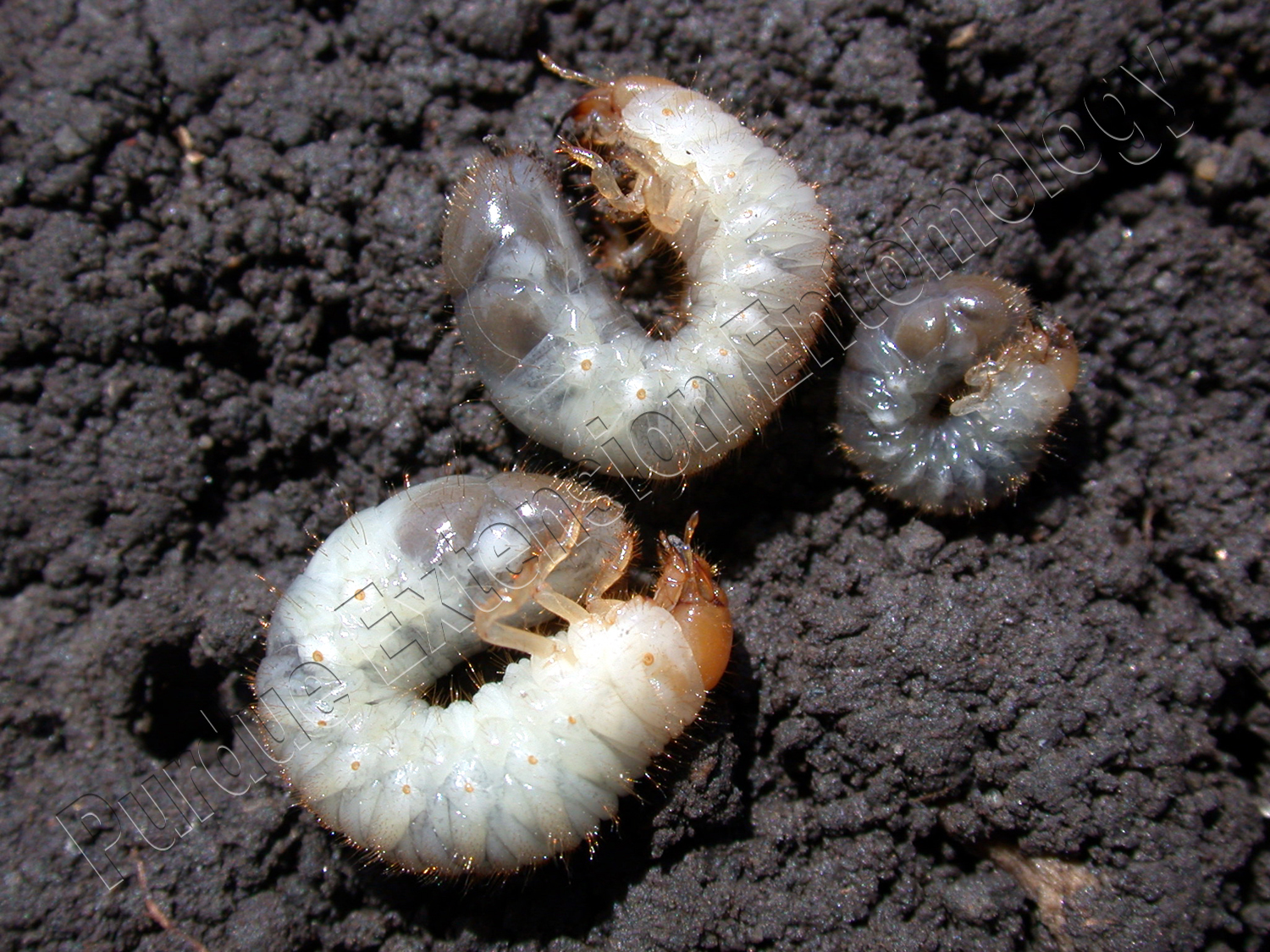 Japanese beetle grub - photo#12