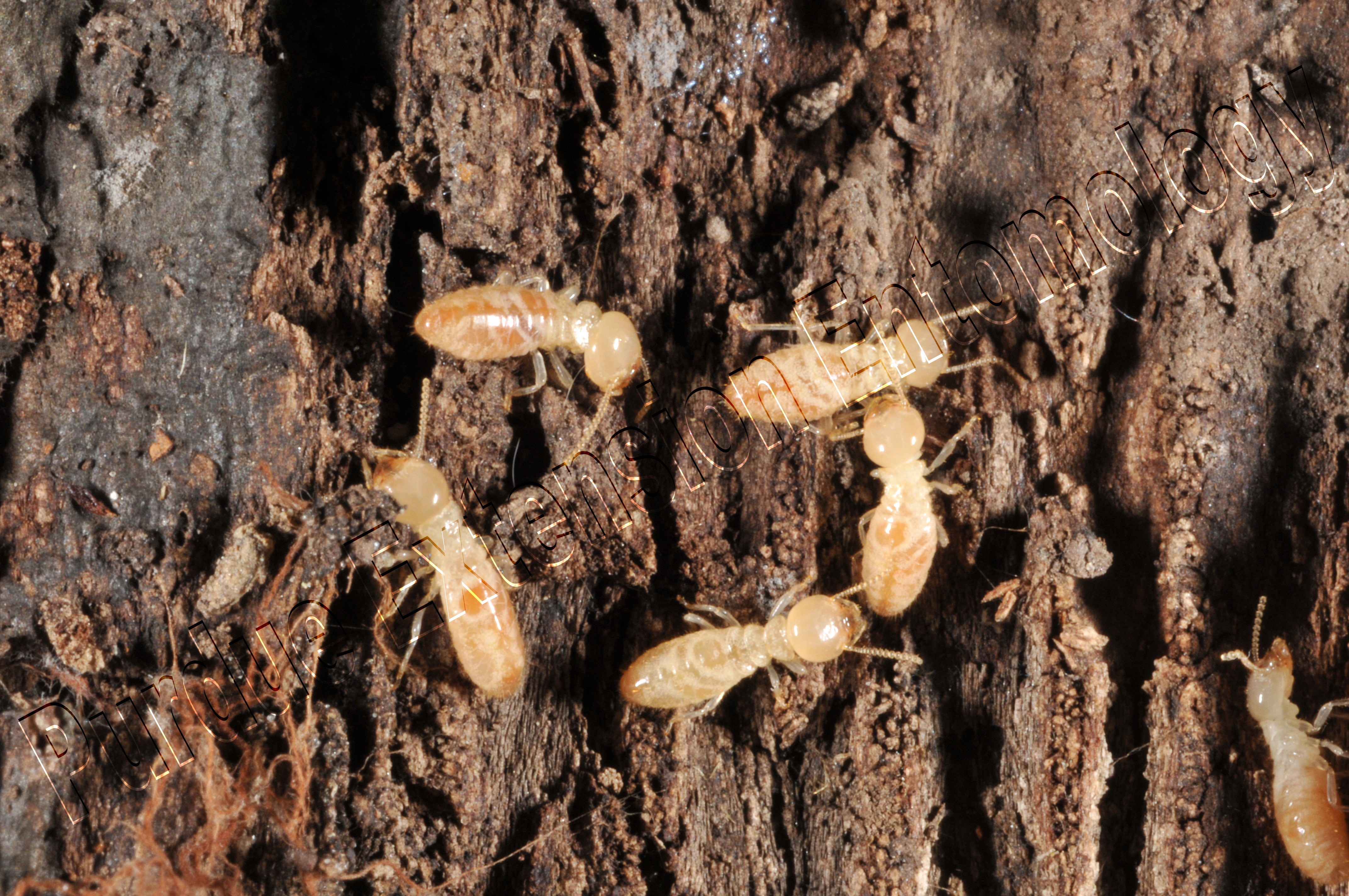 Types of Termites What do Termites Look Like Pictures