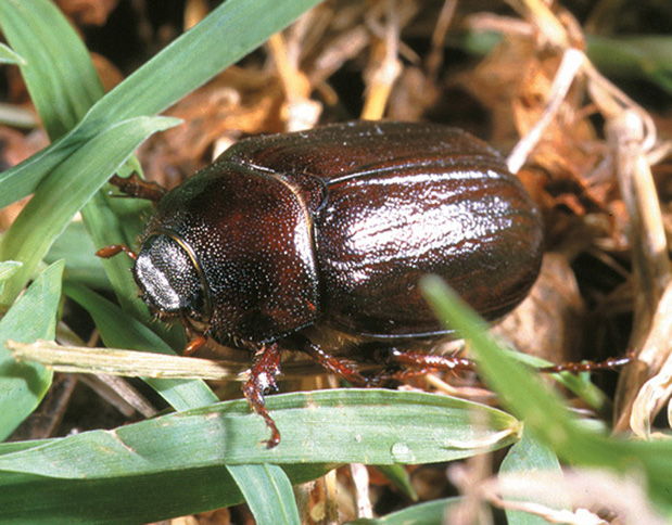 may june beetle - 619×484