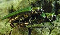 Mating adult emerald ash borers