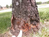 girdled ash tree
