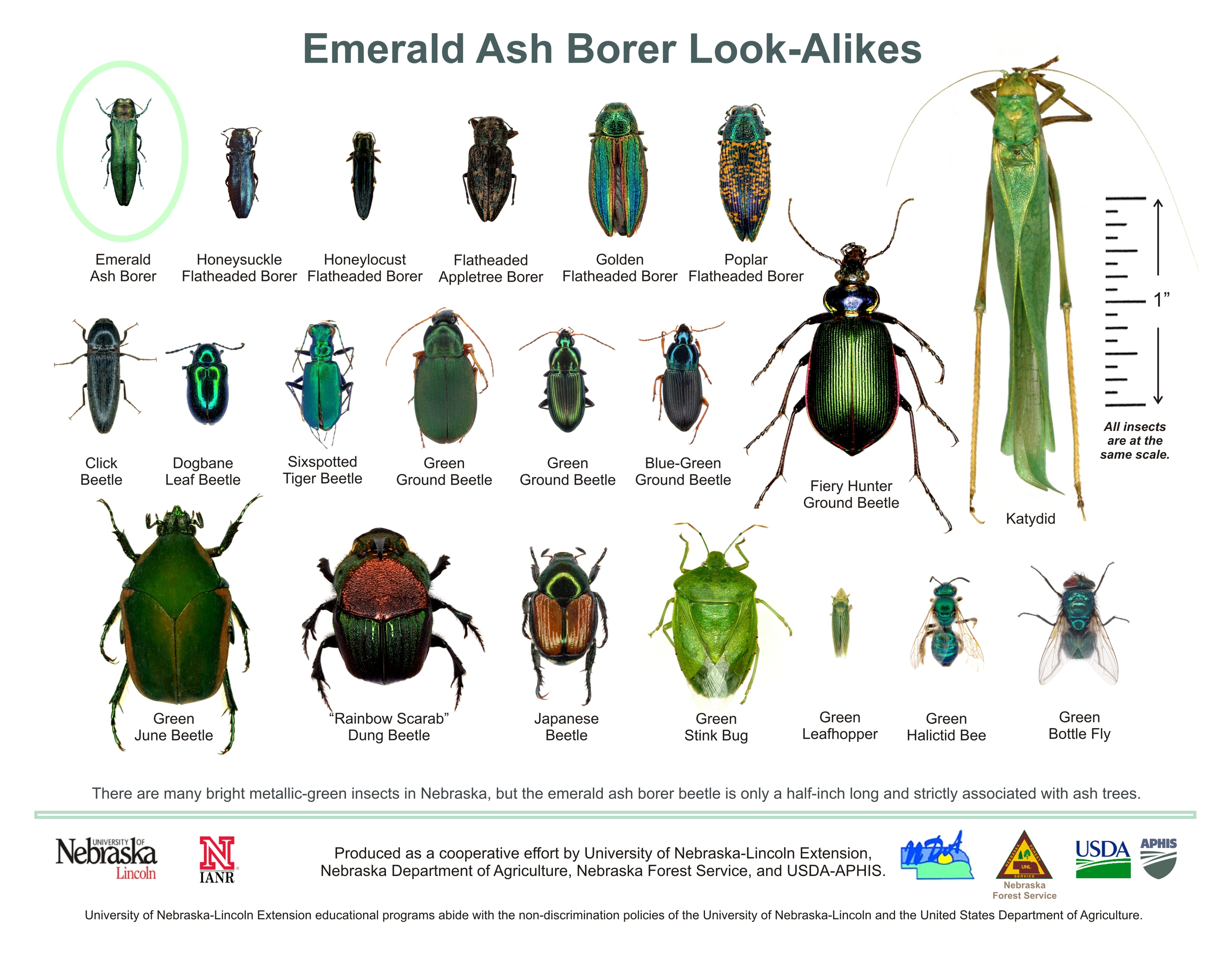 How do I know if I've found emerald ash borer? : Forest ...