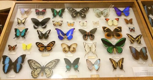 insect collection with very shiny butterflies