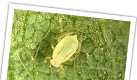 Field Crops Pests