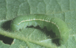 Alfalfa Caterpillar