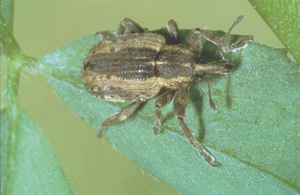 Adult Alfalfa Weevil