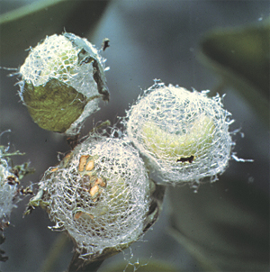 Larva pupating in cocoon