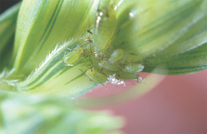 English Grain Aphid colony