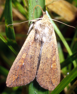 Adult moth with characteristic white dot on forewing