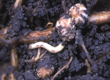 Larva feeding on root nodule