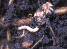 Larva feeding on root nodule