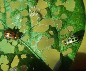 Beetles and foliage feeding
