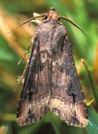 Adult moth with characteristic dark dagger-shaped marking near the outer edge of each forewing