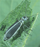 Margined blister beetle