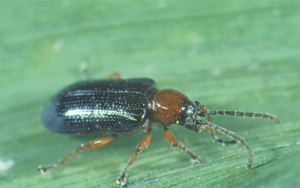 Adult Cereal Leaf Beetle