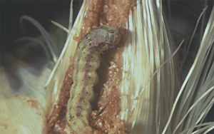 Larva in ear tip