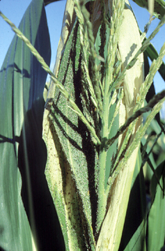 Stressed upper leaves and tassel from aphid feeding