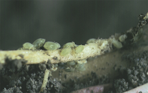 Close-up of aphids feeding on corn roots