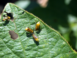 Western corn rootworm feeding