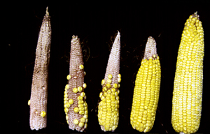 Varying degrees of poor pollination from silk feeding