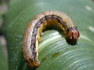 Fall armyworm larva