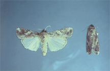 Adult (moths)