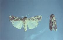 Adult (moths)