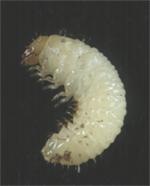 Larva (grub)