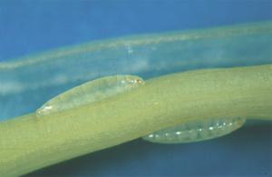 Hessian Fly larvae (maggots)