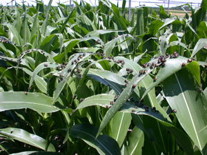 Corn crop infested with beetles