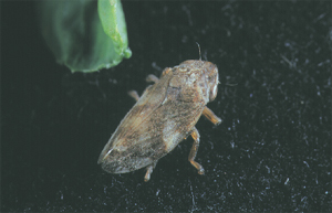 Adult Meadow Spittlebug
