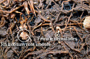 Soybean plant with Rhizobium root nodule and female nematodes