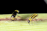 Male and Female western corn rootworms