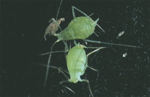 Adult Aphids