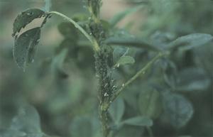 Pea aphids feeding