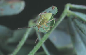 Plant bug nymph
