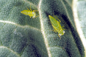 Adult and nymphs on leaf