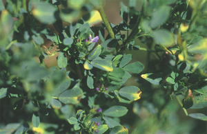 Yellowing of foliage