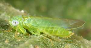 Potato Leafhopper Pests Small Grains And Forage