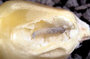 Larvae (maggot)