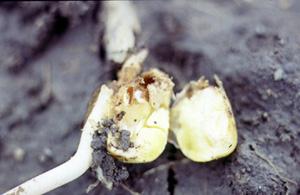 Destroyed germ of corn