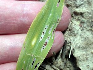 Slug leaf feeding