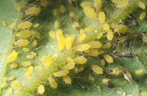 Soybean aphid adults and nymphs