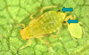 Soybean aphids are yellow-bodied insects with distinct black cornicles, and may be either winged or wingless