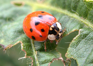 Asian ladybird beetles