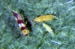Adult and nymphs greatly magnified
