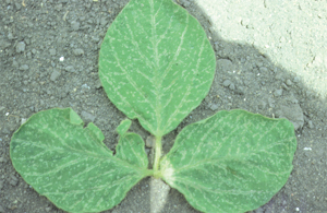Trifoliolate with thrips damage