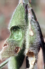 Pod damage caused by grasshopper feeding