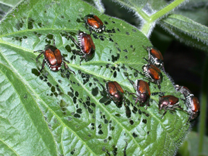 Adults (beetles)