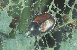 Japanese Beetle Pests Soybean Integrated Pest